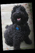 Abby, the gorgeous Portuguese Water Dog